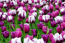 Buy 5 Pink Purple White Tulip Bulbs Seattle Triumph Spring Flower Garden Bloom Fall