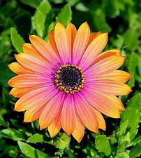 Buy 25 Orange Pink Daisy Seeds Osteospermum Flower African Mix Flower Exotic Garden