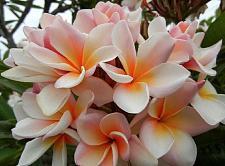 Buy 10 White Orange Plumeria Seeds Plants Flower Lei Hawaiian Perennial Bloom 2-452