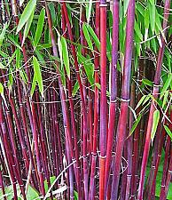 Buy 50 Siergras Collectie Bamboo Seeds Privacy Garden Clumping Shade Screen Seed 625