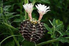 Buy 10 Black White Cactus Seeds Mixed Heat Rare Succulents Stone Flower Desert Sun