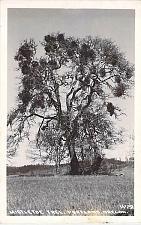 Buy Mistletoe Tree Portland Oregon Real Photo Postcard RPPC