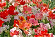 "Buy 5 Pink Orange White Tulip Bulbs ""San Fran Mix"" Spring Flower Garden Bloom Bulb"