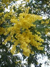 Buy 5 Yellow Mimosa Tree Seeds Silk Tree Albizia julibrissin Perennial Persian Seed