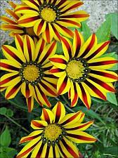 Buy 25 Yellow Red Daisy Seeds Osteospermum Flower African Exotic Garden Bi Color