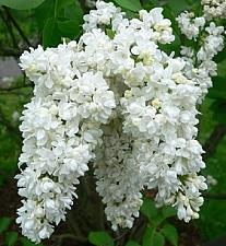 Buy 25 White Lilac Seeds Tree Fragrant Hardy Perennial Flower Shrub Garden Bloom