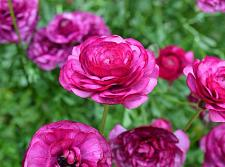 Buy 25 Bright Pink Persian Buttercup Seeds Ranunculus Asiaticus Peony Seed Flower