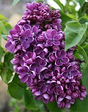 Buy 25 Purple Lilac Seeds Tree Fragrant Hardy Perennial Flower Shrub Garden Bloom