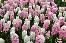 "Buy 5 Pink White Hyacinth Bulbs ""Cotton Candy"" Fragrant Hyacinth Perennial Fall"