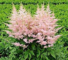 Buy 50 Light Pink Astilbe Seeds Bunter Shade Perennial Garden Flower Bloom Seed 719