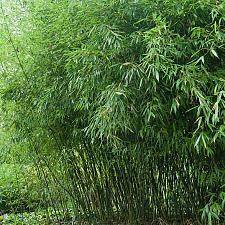 Buy 50 Bissetii Timber Bamboo Seeds Privacy Climbing Garden Clumping Shade Seed 550
