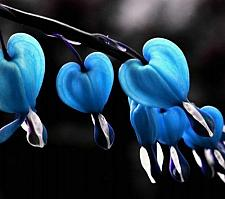 Buy 25 Rare Blue Bleeding Heart Seeds DicentraSpectabilis Shade Flower Garden
