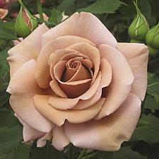 Buy 10 Rare Brown Rose Seeds Flower Bush Perennial Shrub Garden Home Exotic Garden