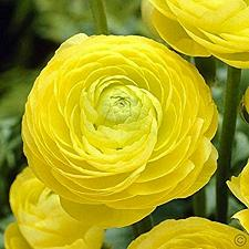 Buy 25 Yellow Persian Buttercup Seeds Ranunculus Asiaticus Peony Seed Flower