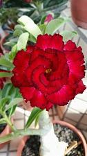 Buy 4 Rare Red Black Tips Desert Rose Seeds Adenium Obesum Flower Perennial Exotic