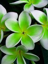Buy 5 Green White Plumeria Seeds Plants Flower Lei Hawaiian Perennial Flowers 2-483