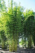Buy 50 Bambusa Oldamii Bamboo Seeds Privacy Climbing Garden Clumping Shade Seed 551