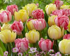 "Buy 5 Pink Yellow Tulip Bulbs ""Easter Joy"" Spring Flower Garden Bloom Bulb Fall"