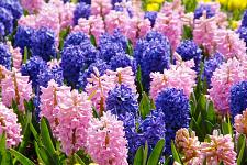 "Buy 5 Blue Pink Hyacinth Bulbs "" San Diego Mix"" Fragrant Hyacinth Perennial Fall"