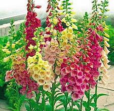 Buy 50 Bright Mix Foxglove Seeds Perennial Garden Flower Bright Sun Shade