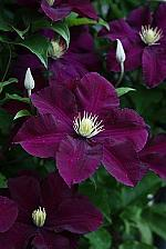 Buy 25 Dark Purple Clematis Seeds Large Bloom Climbing Perennial Flower Garden 525