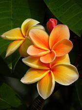Buy 10 Yellow Orange Plumeria Seeds Plants Flower Lei Hawaiian Perennial Seed 2-649