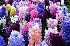 Buy 5 Empire State Mix Hyacinth Bulbs Fragrant Hyacinth Perennial Fall Bulb Garden