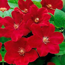 Buy 25 Bright Red Clematis Seeds Large Bloom Climbing Perennial Garden Flower 522