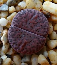 Buy 25 Purple Lithops Succulent Seeds Exotic Rare Living Stones Plants Cactus Desert