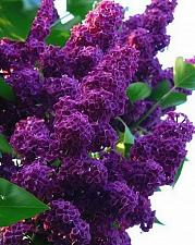 Buy 25 Dark Purple Lilac Seeds Tree Fragrant Hardy Perennial Flower Shrub Garden