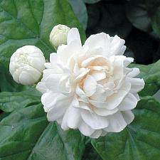 Buy 5 Grand Duke Jasmine Seeds Rare Tropical Fragrant Flower While Perennial 582