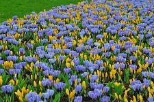 "Buy 20 Yellow Purple Crocus Bulbs ""Semper Avanti"" Perennial Fall Flower Bloom Spring"