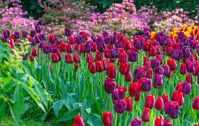 "Buy 5 Red Purple Tulip Bulbs ""Golden Gate"" Pink Perennial Spring Flower Garden Bloom"