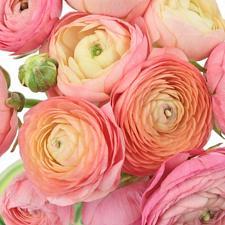 Buy 25 Salmon Persian Buttercup Seeds Ranunculus Asiaticus Peony Seed Flower Bloom