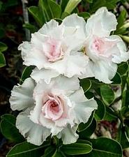 Buy 4 Double White Desert Rose Seeds Adenium Obesum Flower Perennial Exotic Seed 6