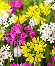 Buy 25 Yellow Pink White Allium Bulbs Bloom Onion Flowering Perennial Flower Spring