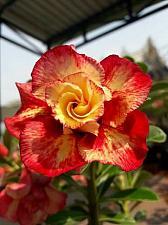 Buy 4 Rare Red Orange Desert Rose Seeds Adenium Obesum Flower Perennial Exotic 2-252