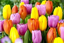 Buy 5 Pink Yellow Orange Tulip Bulbs Tequila Sunrise Spring Flower Garden Bloom