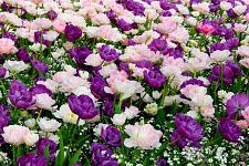 "Buy 5 Pink Purple White Tulip Bulbs ""Venice Collection"" Spring Flower Garden Bloom"