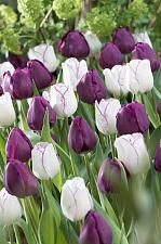 "Buy 5 Purple White Tulip Bulbs ""Purple Passion"" Spring Flower Garden Bloom Fall"