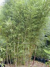 Buy 50 Chilean Weeping Bamboo Seeds Privacy Garden Clumping Seed Shade Screen 759