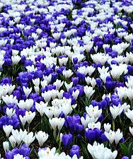 "Buy 20 ""Blue and White Mix"" Crocus Bulbs Perennial Fall Flower Bloom Spring Bulb"