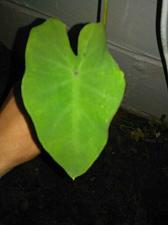 Buy 10 Alocasia Elephant Ear Bulb/Rhizomes- Ready To plant