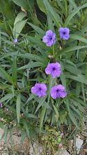 """Buy 10 """"Purple Showers"""" Mexican Petunia (Ruellia Simplex) Rooted Cuttings"""