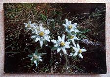 Buy Leontopodium Alpinum. Vintage Postcard from Albania