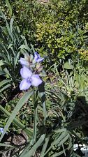 Buy 20 Spiderwort Transdescantia Purple Flower Bare Root Rhizome Bulbs