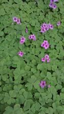 Buy 20 Pink Oxalis Wood Sorrel Bulbs- Fresh & Ready To Plant