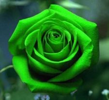 Buy 50 SEEDS GREEN ROSE SEED FOR LOVER GREEN ROSE SEED CUTE BEAUTIFUL