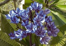 """Buy MAPLE CREAM FRAGRANT PLUMERIA CUTTING WITH ROOTED 7-12 """" WITH CERTIFICATION"""