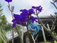 Buy BLUE DRY PLUMERIA'S CUTTING WITH ROOTED 7-12 INCHE WITH CERTIFICATION